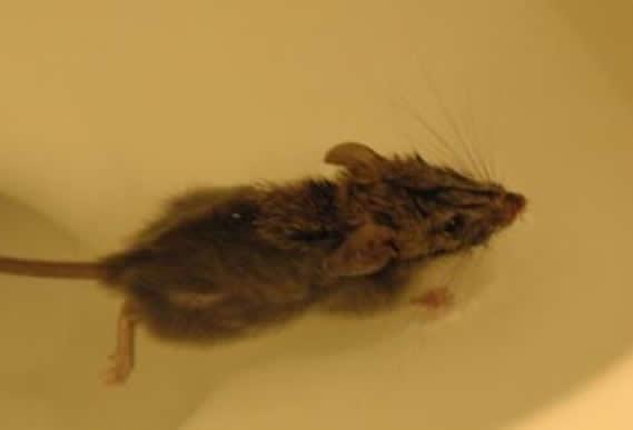 Vídeo mostra como um rato pode sair de dentro de seu sanitário a qualquer momento!