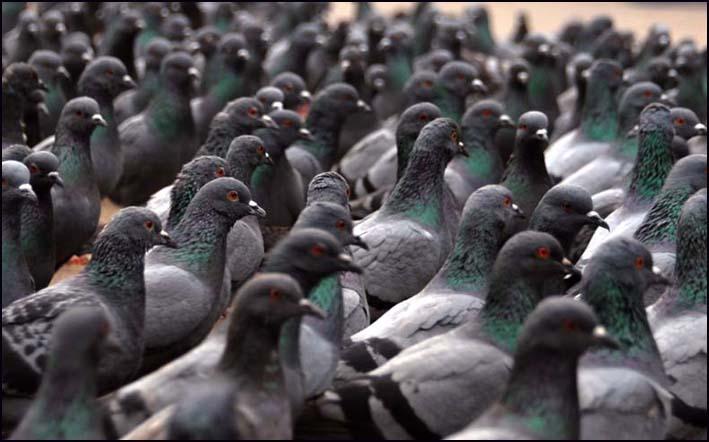 Moradores de Volta Redonda estão preocupados com infestação de pombos na região