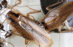 Conheça esse inseto comum na cozinha: a barata francesinha