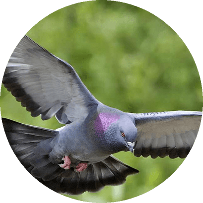 Manejo de Pombos - Dedetizadora