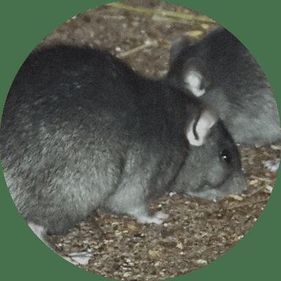Ratos - Desratização no Rio de Janeiro