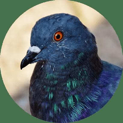 Manejo de pombos - Como repelir pombos