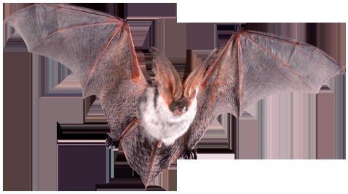 Manejo de Morcegos Urbanos