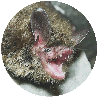 Manejo de Morcegos RJ - Problemas com morcegos