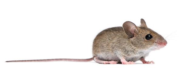 ciclo-de-vida-rato