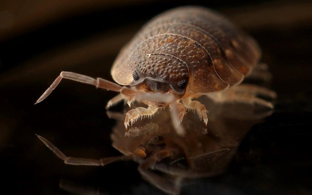 Percevejo de cama: conheça esses insetos que infestam os hotéis