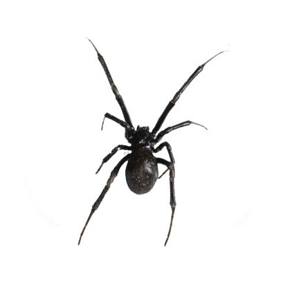 Ciclo de vida das aranhas - Dedetização aranhas no Rio de Janeiro
