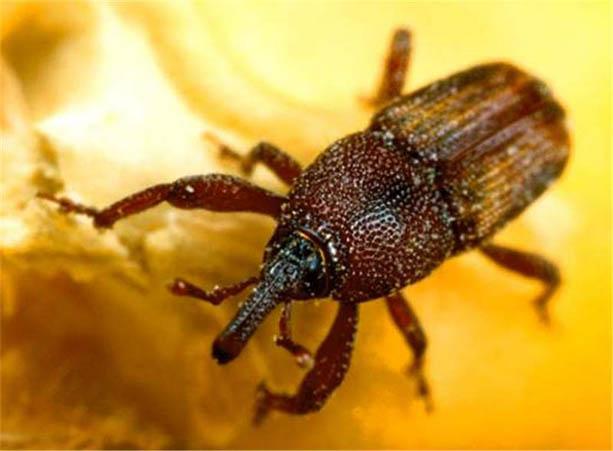 Gorgulho ou Caruncho (Sitophilus zeamais)