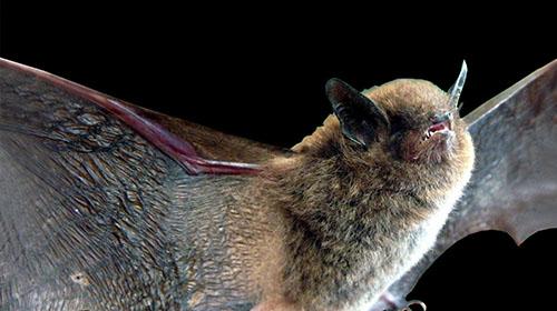 3) Família Vespertilionidae