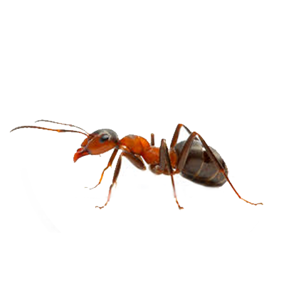 Sobre as formigas - Dedetização de Formigas no Rio de Janeiro