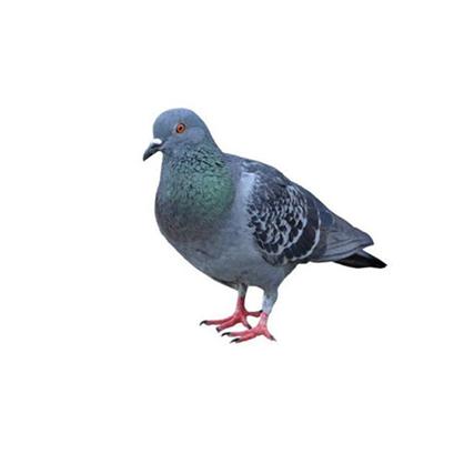Pombos - Dedetização e Controle de Pombos no Rio de Janeiro