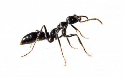 A dedetização de formigas é necessária