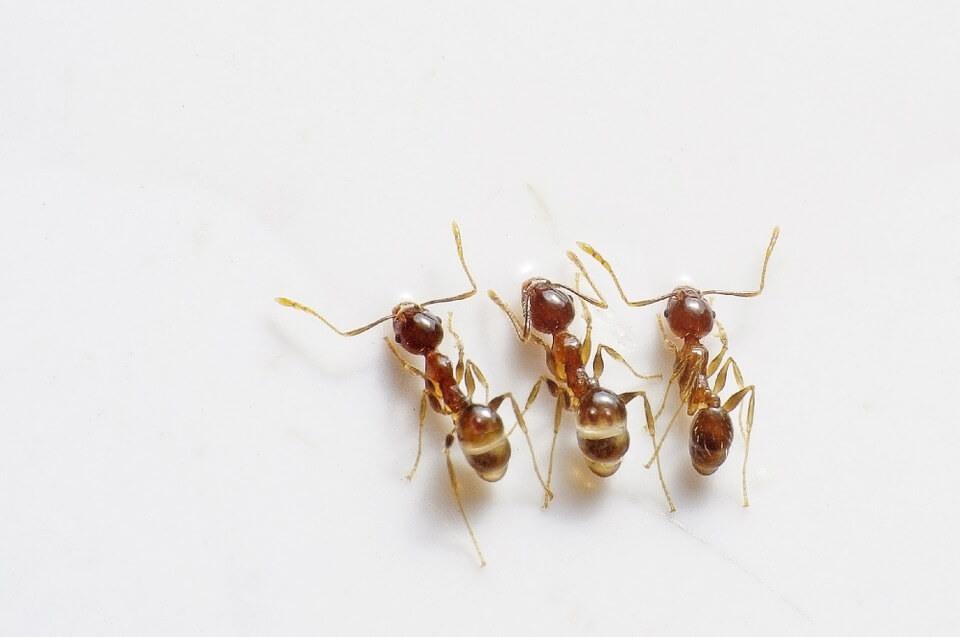 Dedetização de formigas: Como funciona?