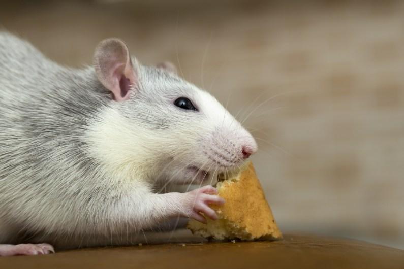 Qual é o preço de um controle de ratos no Rio de Janeiro?