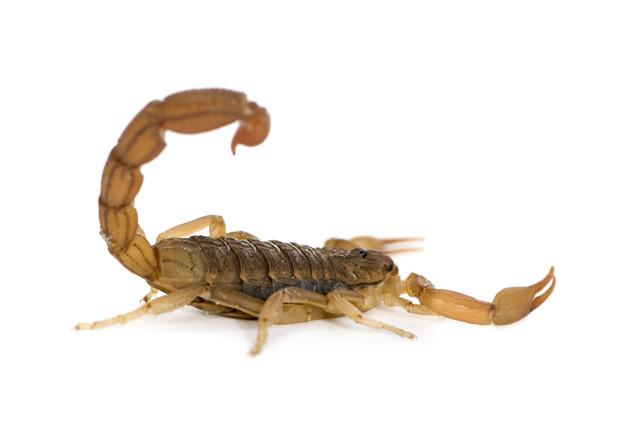 Dedetização e Controle de Escorpiões